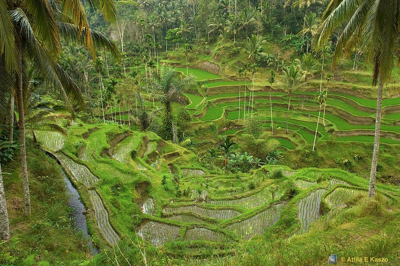 Terrace Rice Fields<br /> <br /> Ubud, Bali, Indonesia