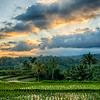 Rice fields at sunset hdr