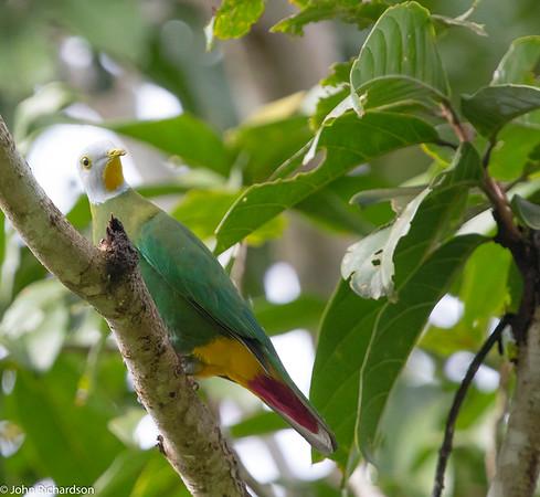Black-naped Fruit-Dove (Ptilinopus melanospilus) - Tangkoko, Sulawesi