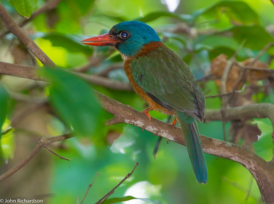Green-backed Kingfisher (Actenoides monachus) ENDEMIC - Tangkoko, Sulawesi