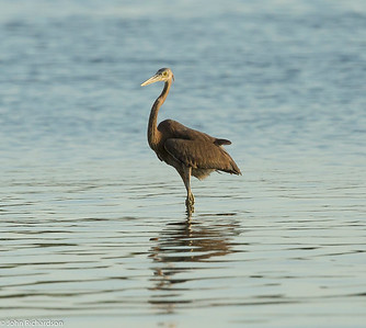 Great-billed Heron (Ardea sumatrana) - Komodo