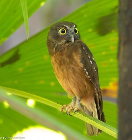 Ochre-bellied Boobook (Ninox ochracea) ENDEMIC - Tangkoko, Sulawesi