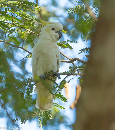 Yellow-crested Cockatoo (Cacatua galerita) - Komodo