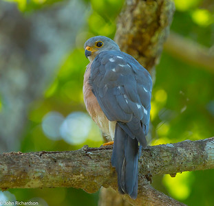 Vinous-breasted Sparrowhawk (Accipiter rhodogaster) - Komodo