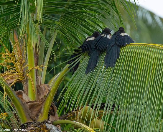 Goliath Coucal (Centropus goliath) ENDEMIC- Weda Bay, Hamalhera