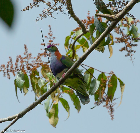 Superb Fruit-Dove (Ptilinopus superbus) - Sulawesi