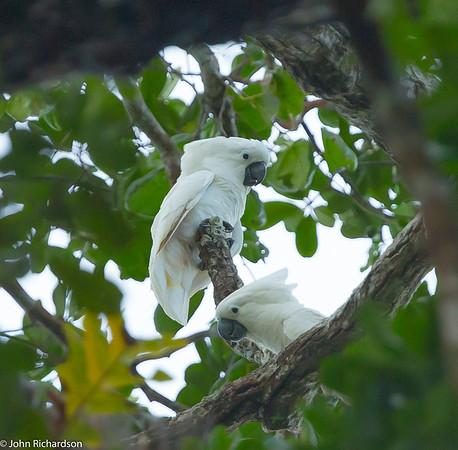 White Cockatoo (Cacatua alba) - Hamalhera