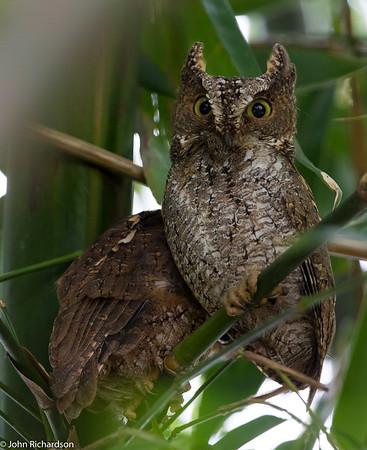 Sulawesi Scops Owl (Otus manadensis) ENDEMIC - Tangkoko