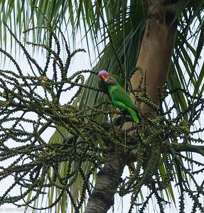 Red-cheeked Parrot (Geoffroyus geoffroyi) - Weda Bay, Hamalhera