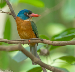 Green-backed Kingfisher (Actenoides monachus) ENDEMIC - Tangkoko, Sulawesi