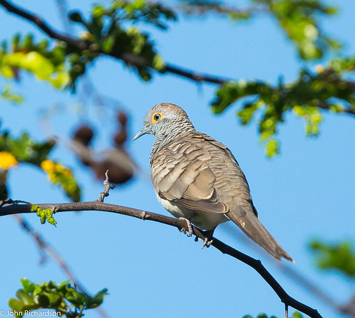 Barred Dove (Geopelia maugei) - Komodo