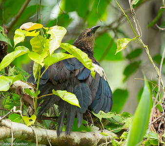 Goliath Coucal (Centropus goliath) ENDEMIC- Weda Bay, Hamalhera