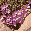 Ir 1493 Dionysia curviflora