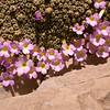 Ir 1494 Dionysia curviflora