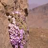 Ir 1486 Dionysia curviflora