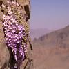 Ir 1484 Dionysia curviflora