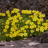 Ir 1004 Dionysia diapensiifolia