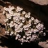 Ir 1499 Dionysia curviflora