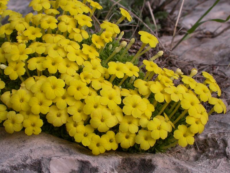Ir 1012 Dionysia diapensiifolia