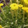 Ir 1018 Dionysia diapensiifolia