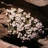 Ir 1500 Dionysia curviflora