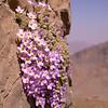 Ir 1489 Dionysia curviflora