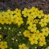 Ir 1007 Dionysia diapensiifolia
