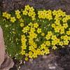 Ir 1006 Dionysia diapensiifolia
