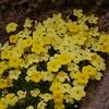 Ir 1003 Dionysia diapensiifolia