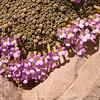 Ir 1492 Dionysia curviflora