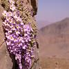 Ir 1490 Dionysia curviflora