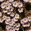 Ir 1502 Dionysia curviflora