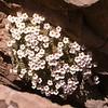Ir 1498 Dionysia curviflora