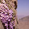 Ir 1491 Dionysia curviflora