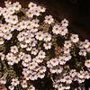 Ir 1501 Dionysia curviflora