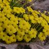 Ir 1014 Dionysia diapensiifolia