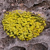 Ir 1022 Dionysia diapensiifolia