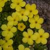 Ir 1009 Dionysia diapensiifolia