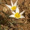 Ir 2576 Tulipa buhseana