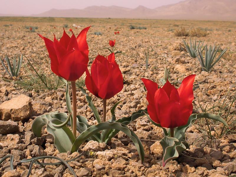 Ir 2252 Tulipa stapfii