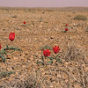 Ir 2244 Tulipa stapfii