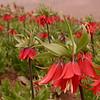 Ir 3617 Fritillaria imperialis