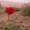 Ir 2133 Tulipa stapfii