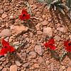 Ir 2253 Tulipa stapfii