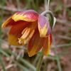 Ir 2563 Fritillaria reuteri