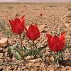Ir 2251 Tulipa stapfii