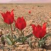 Ir 2248 Tulipa stapfii