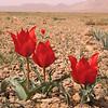 Ir 2249 Tulipa stapfii