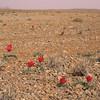Ir 2240 Tulipa stapfii