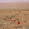 Ir 2239 Tulipa stapfii